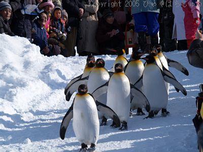 旭山動物園のペンギン散歩